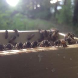 Giesinger-Bienenvolk
