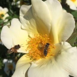 Giesinger-Biene-beim-sammeln